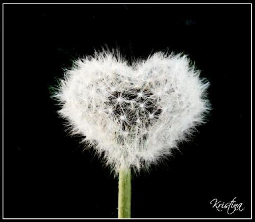 Сердечко из одуванчика 1
